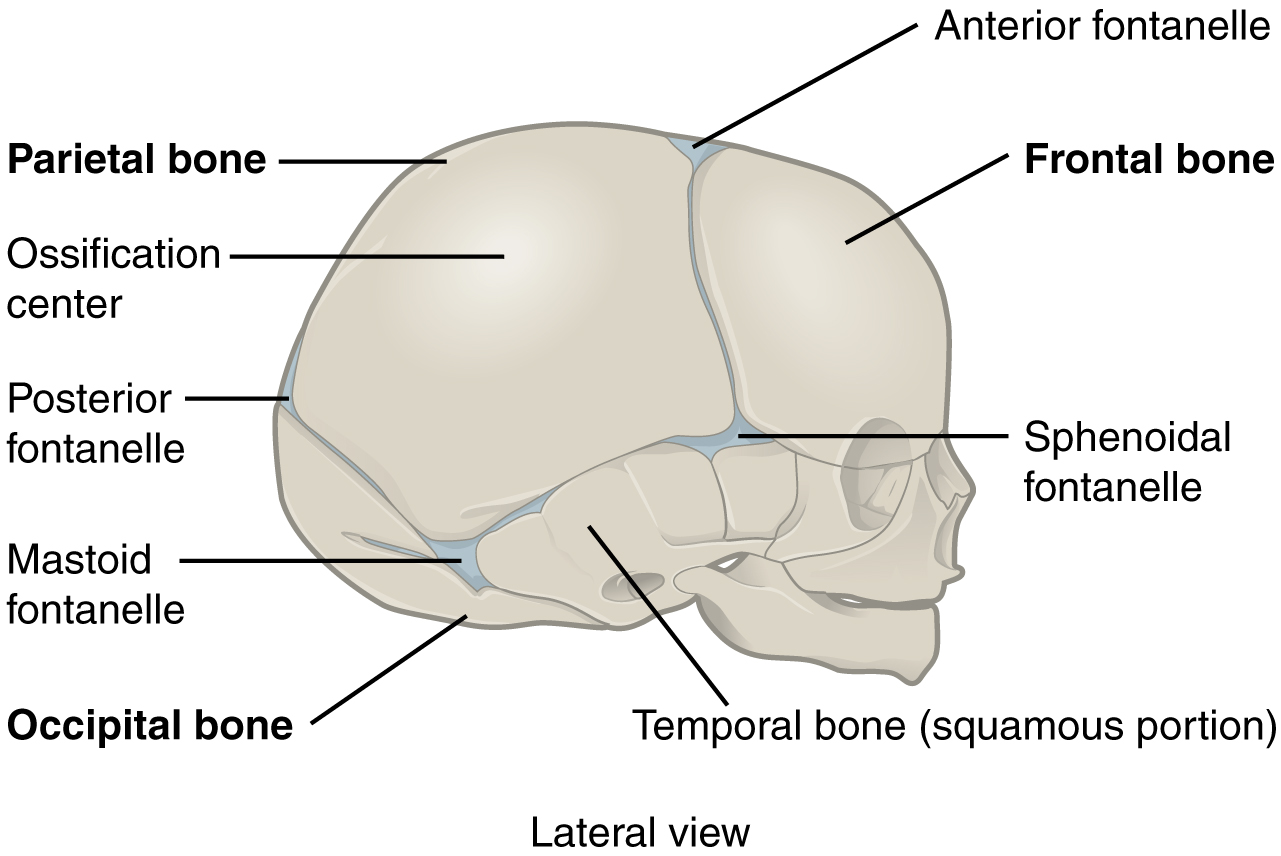 This Figure Shows The Lateral View Of The Newborn Skull With The Major Parts Labeled
