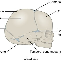 Facial Bones Diagram Not Labeled Bt Wall Socket Wiring This Figure Shows The Lateral View Of Newborn Skull