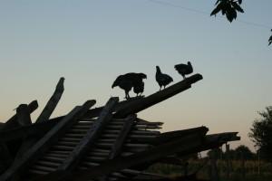 poules perchées sur un tas de bois