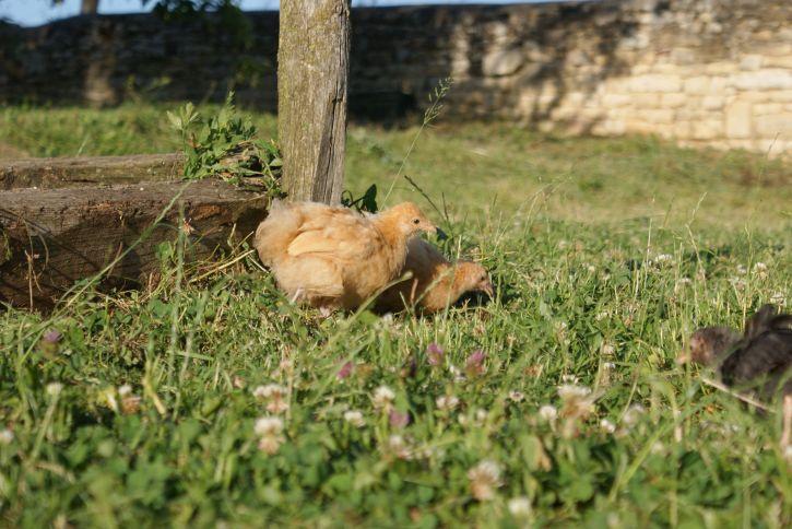 Poussins orpington profitant du jardin et du soleil