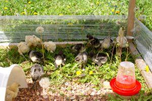 poussins brahma dans leur petit parc extérieur sécurisé