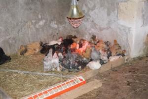 poussins brahma et pékin, entre autre, dans le grand nid sous la lampe