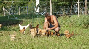 poules poussins et coqs autour de nous
