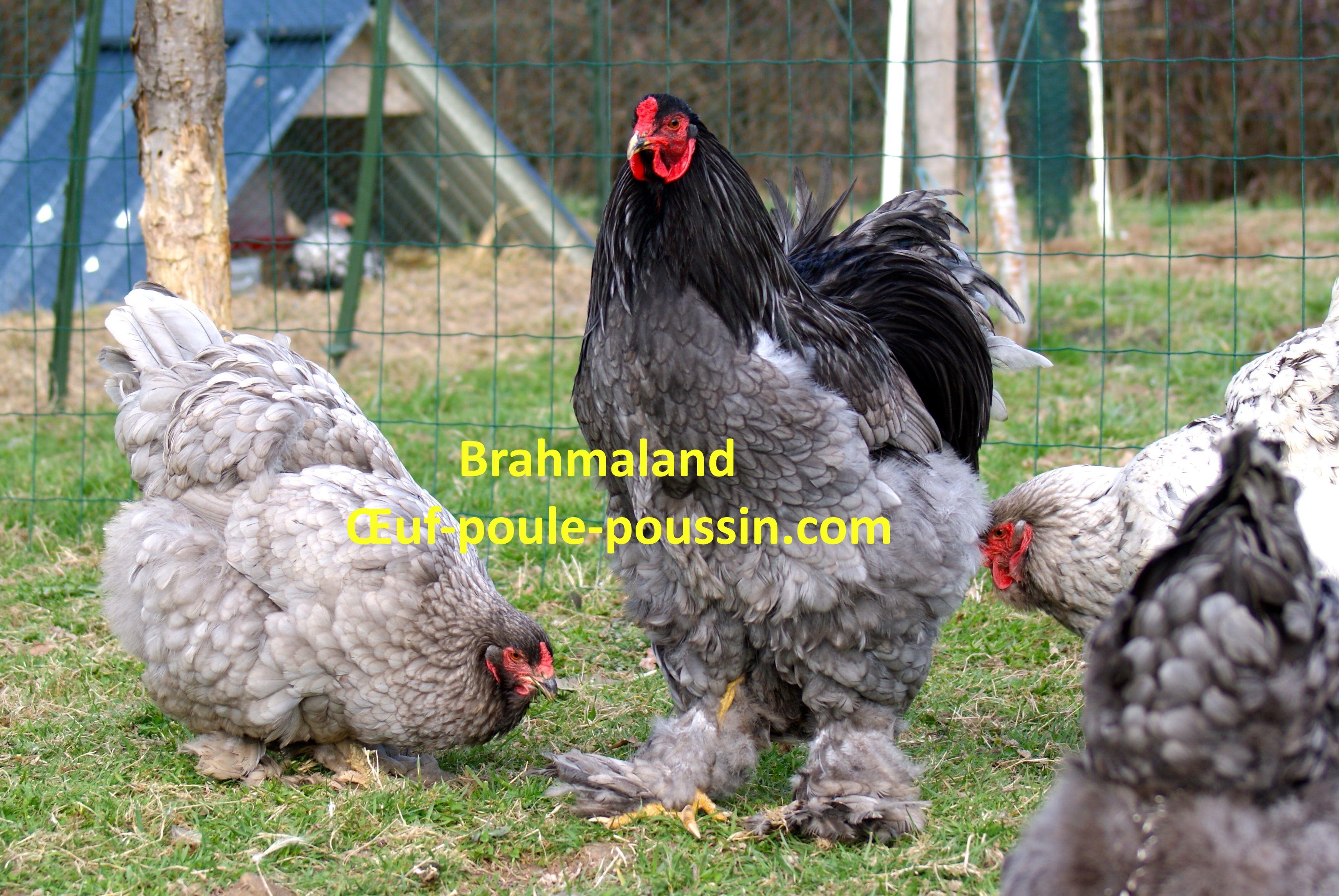 poule brahma gr