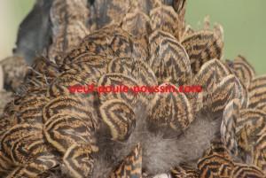 Maillage des plumes d'une poule brahma perdrix dorée