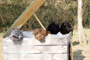 Certaines poules profitent rapidement de l'ouverture des toits lors de l'entretien pour y faire un bain de soleil !