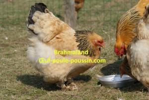 poule brahma fauve herminée noire adulte