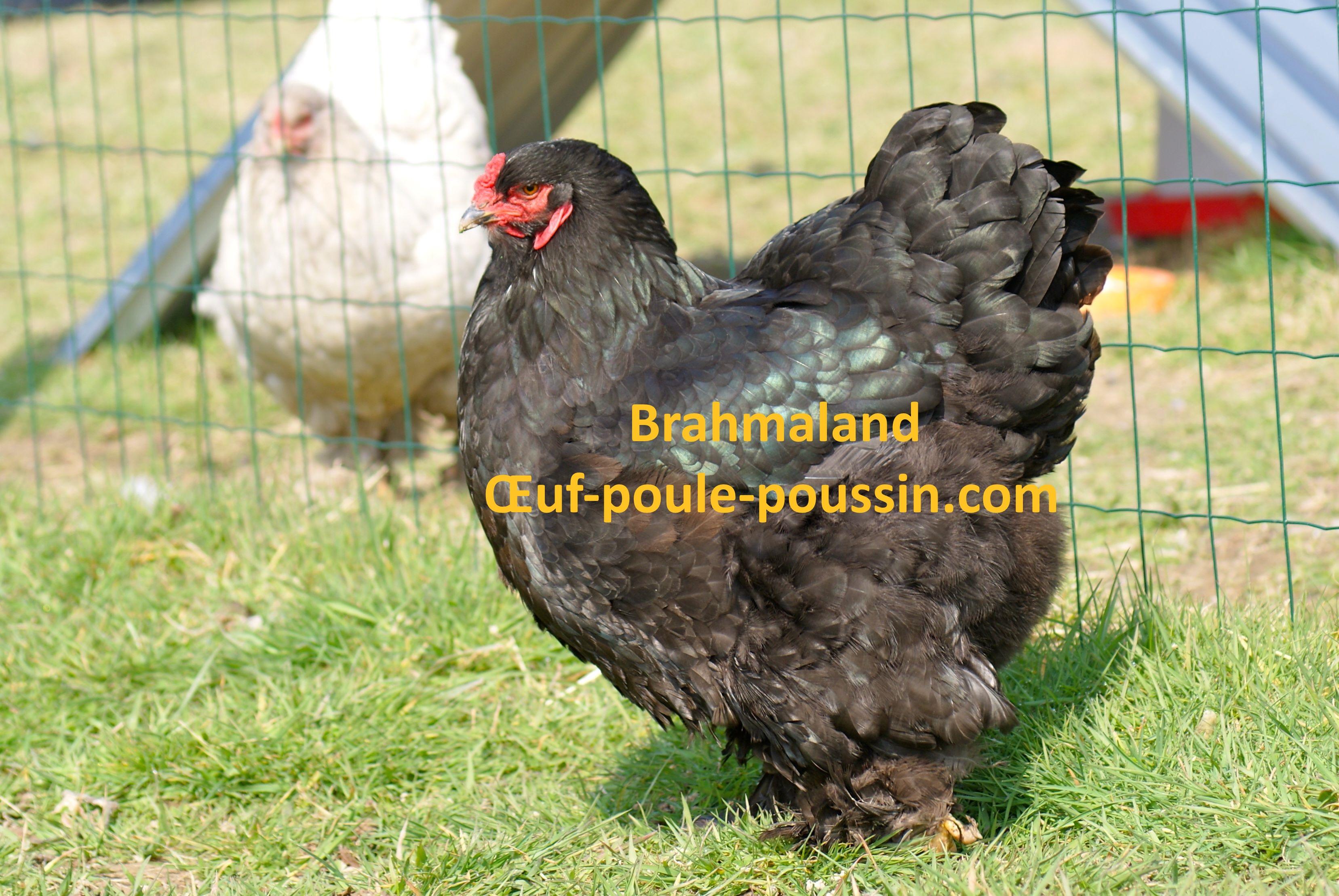 poule brahma noir