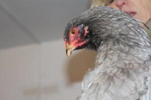 Lila, poulette brahma bleue