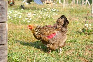 poule brahma perdrix maillé doré