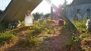Poussins au petit déjeuner sous les premiers rayons de soleil