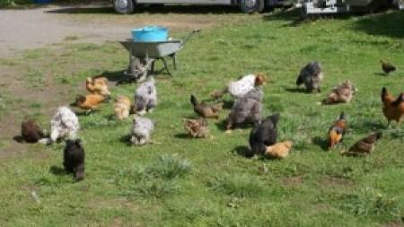distribution de pâtée pour poules