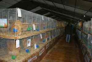 une rangée de cages de coqs orpington fauve en grande race