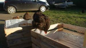poule inspectant le bricolage d'un poulailler