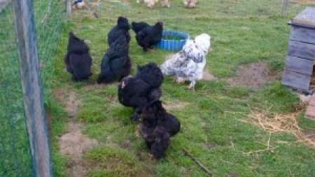 parquets de poules noires avec coq splash pour production de poussins brahma doux et bleu à 100%