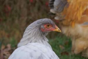 portrait de Tisno, jeune poulette brahma splash de 2015