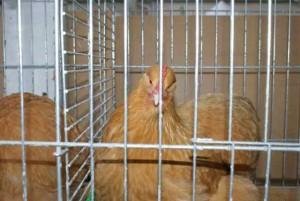 une poule orpington fauve présentée en exposition