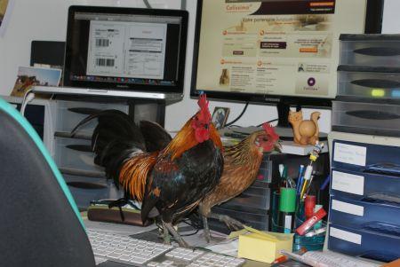 Envol et Em' les ardennais dorés trient la paperasse sur le bureau !