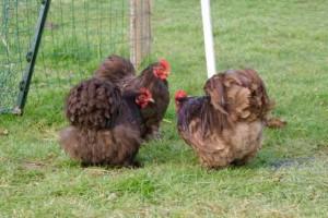 Les Choco Bis : Couple pékin chocolat (Lindt et Jeff), et un bébé coq qui grandit