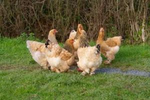 famille de poules brahma fauves herminé