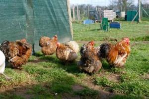 Parquet pékin millefleur 2 : coq frisé Utah, deux poules et deux poulettes 2015