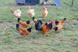 Notre coq Apple entouré de ses belles demoiselles vorwek