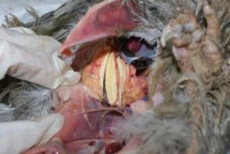 Découpe de la masse obstruant le sac aérien et provoquant des difficultés respiratoires pour la poule