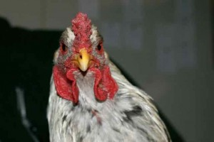 Petit portrait de Assay, coq brahma splash