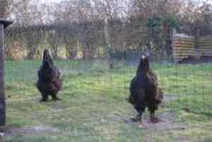 poule ou coq brahma noir ?
