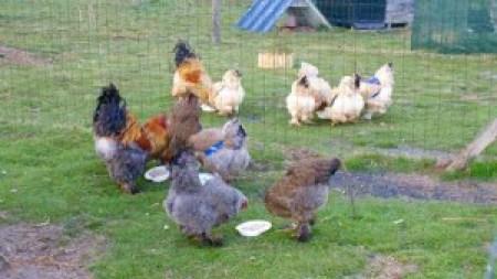 Le goûter des poules