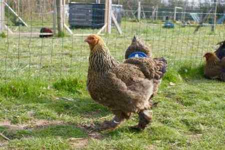 jeune poule brahma perdrix maillé doré