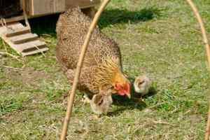 la poule D2 et ses deux poussins wyandotte perdrix maillé doré