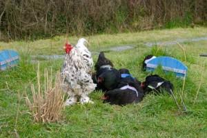 Le coq veille sur sa famille de poules en train de faire leur toilette !
