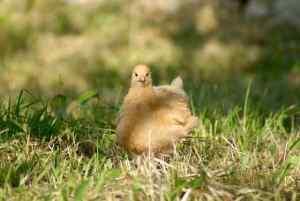 jeune poulet orpington