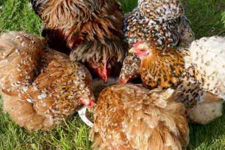 poules et coq pékin millefleur dégustant la recette de pâtée protéinée