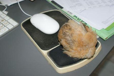 poussin qui dort sur le pad de souris !