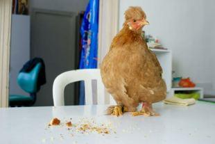 Poulette Mascot fête ses 5 mois avec un bon gateau !