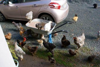Les poules guettent la bassine de pâtée