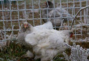 poules en mue qui se gèlent les miches