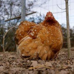 Iul'tin : poule bantam de pékin millefleur