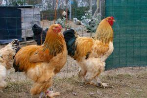 Miel Pops et Ginger, coqs brahma fauves herminés noirs.