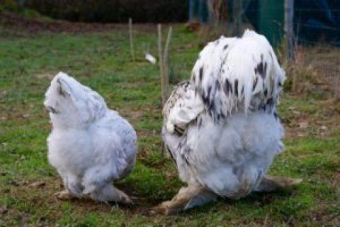 brahma splash : poule et coq