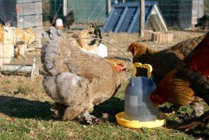 Tina, poule brahma perdrix doré maillé bleu