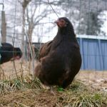 Truffe : jeune poulette orpington naine chocolat de 4 mois