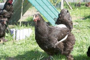 poule brahma noire
