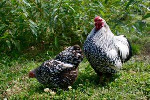 Naïkee (coq wyandotte) en compagnie de Toupy (poule wyandotte) dans leur joli parc