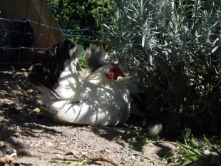 Petite chabo à l'ombre sous la lavande