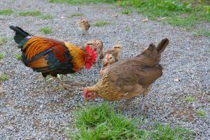 Em', Envol et leurs poussins ! Une jolie famille !