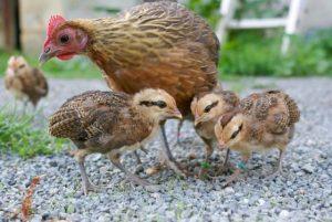 les petits ardennais sous l'œil vigilant de maman poule