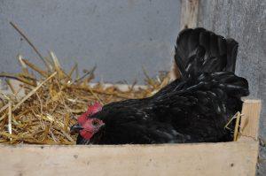 poule berrichone au nid